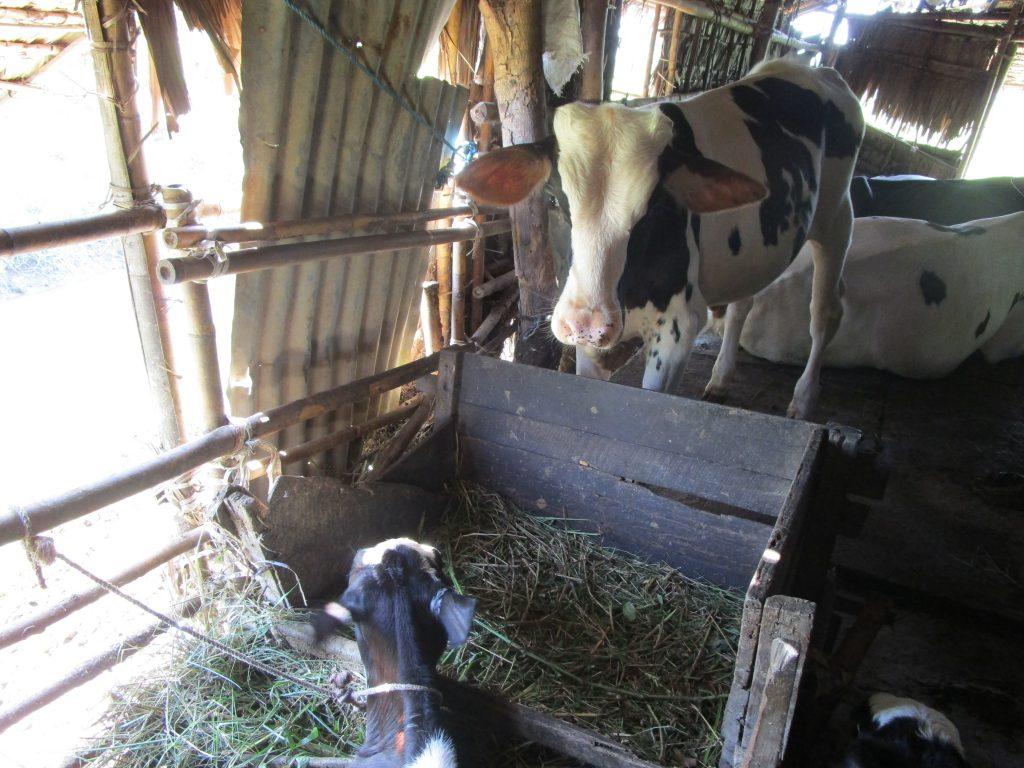 ミャンマーの牛