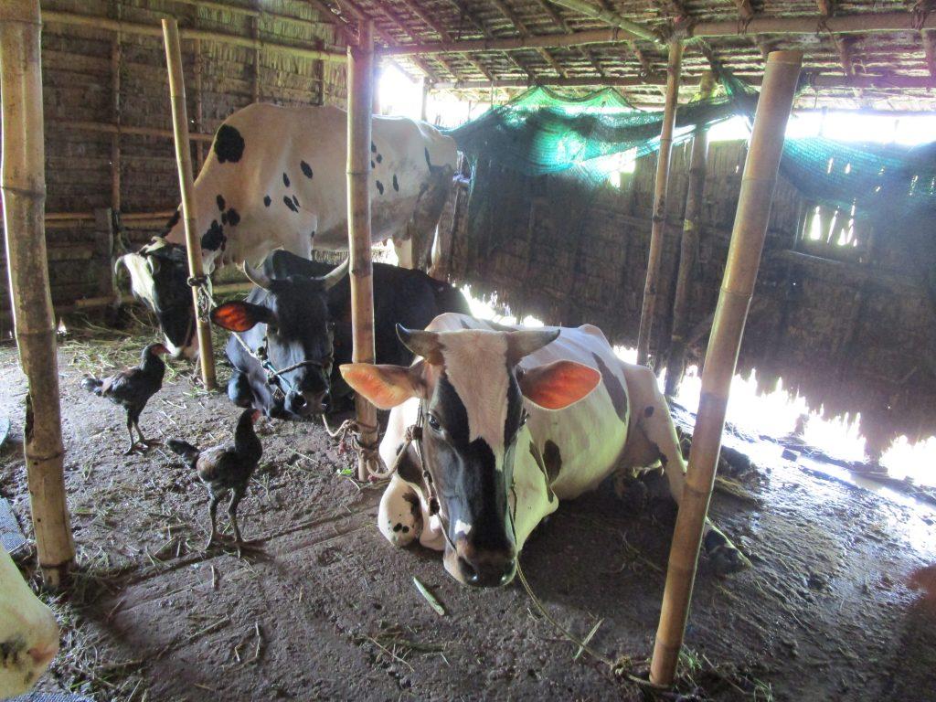 乳牛とニワトリ