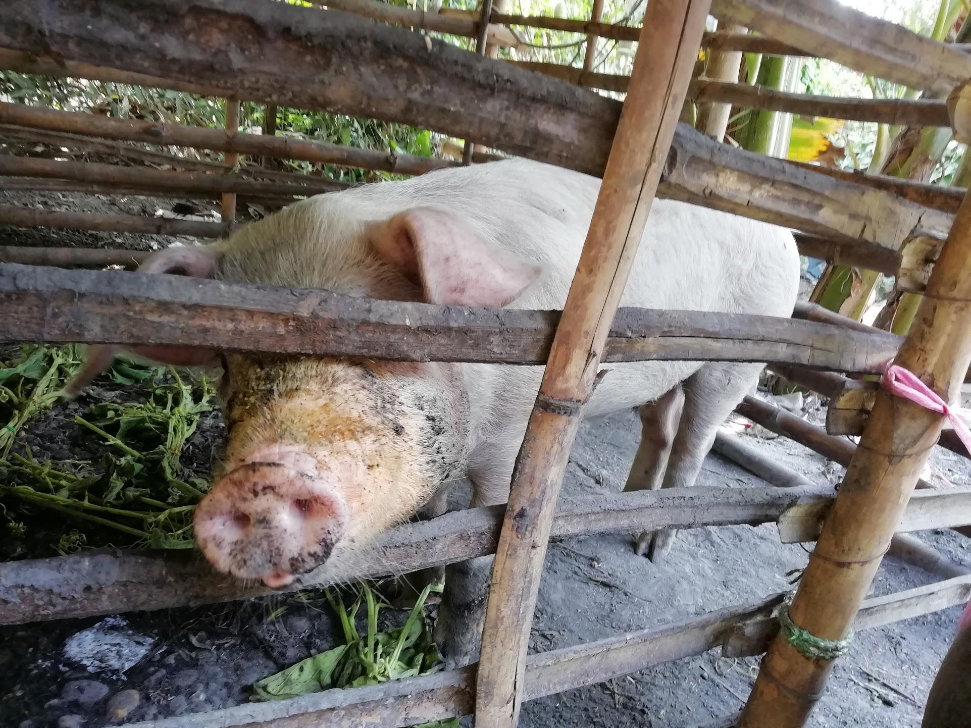 飼育している豚の写真